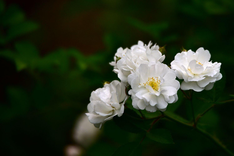 白蔷薇图宋画