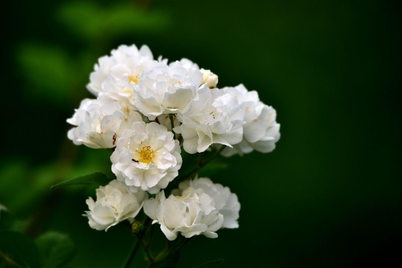 白蔷薇图片唯美